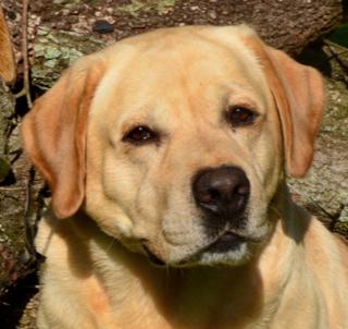 "BLACK LAB Sign labrador retriever dog dogs groomer hunting 12/"""